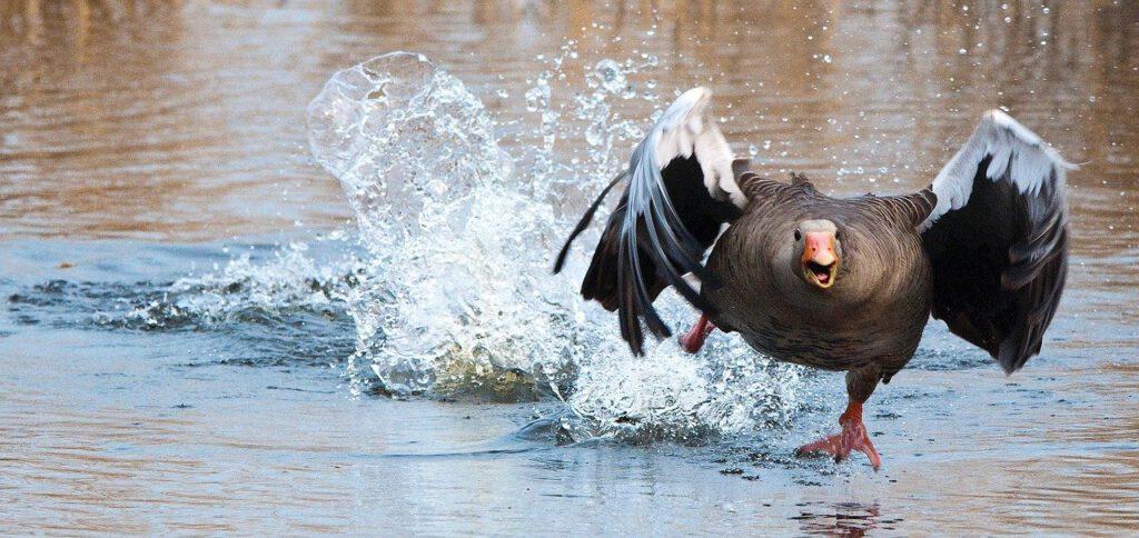 greylag goose, goose, water bird